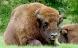 Bison tilbage i dansk natur
