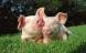 Økologiske dyr kan klare sig næsten uden antibiotika