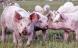 Mere økologisk svinekød