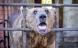 Russiske bjørne bliver drukket fulde