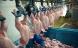 Genmodificeret foder til danske kyllinger