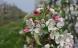 Fejøs økologiske frugttræer blomstrer