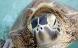 Klimakaos: Havskildpadder får kun hunner