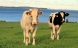 Gamle køer kan måske give mælk med nye kvaliteter