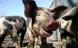 Øko-grise i det fri kan måske fjerne MRSA