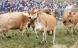 Øko-køernes forårsfest er blevet en folkefest