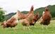 Halvdelen af alle æg i Coop er økologiske