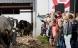 Oplev øko-køernes forårsdans