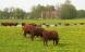 Økologer vil redde gamle husdyrracer