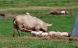 Økologiske grise skal bedøves, før de kastreres