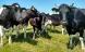 Avl og fodring kan booste de gode fedtsyrer i mælken