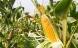 Nyt EU-nej til GMO-majs i Europa