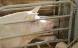 Esben Lunde forgylder 139 svinebaroner