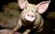 Ny MRSA-variant fundet hos danske svin