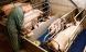 Svineindustriens anvendelse af medicinsk zink skal udfases