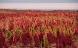 Indianernes quinoa hitter på danske marker