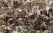 57 forskellige sprøjtegifte fundet i honningbier