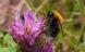 Landbrugets svampegift slår humlebier ihjel