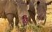 WWF jubler: Dyresmuglere er på finansloven