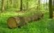 Lunde giver grønt lys til at fælde Danmarks ældste træer