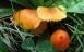 Succesen for svampesamlere fortsætter