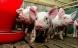 Massiv forurening af kobber fra svineproduktion