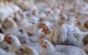 Burger King vil højne dyrevelfærden for slagtekyllinger