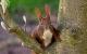 Pas på egern, når du fælder træer