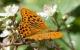 Få flere sommerfugle i din have