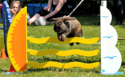 hvor højt kan en kanin hoppe
