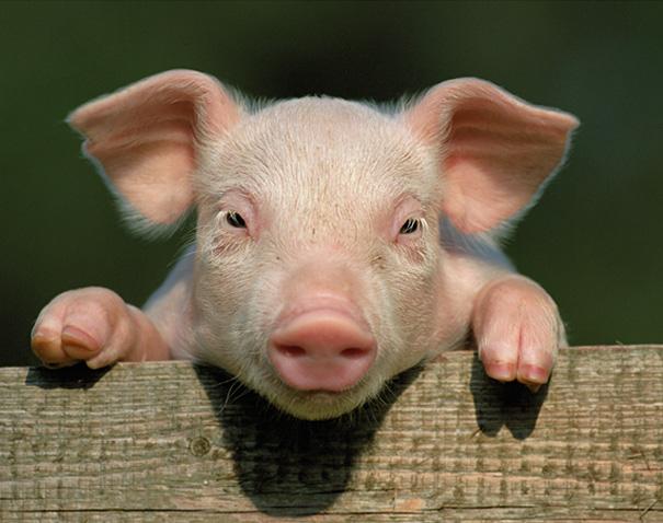 hvor mange svin er der i danmark